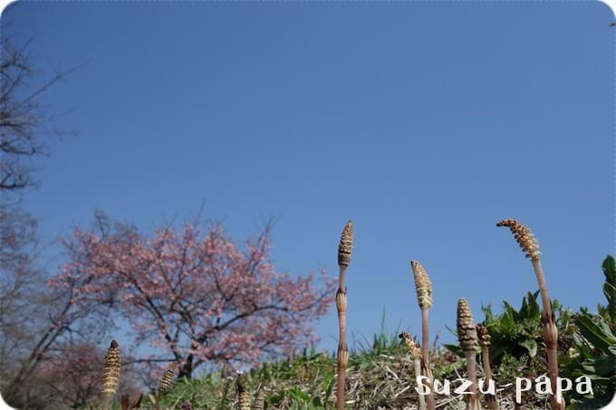 河津桜とつくし