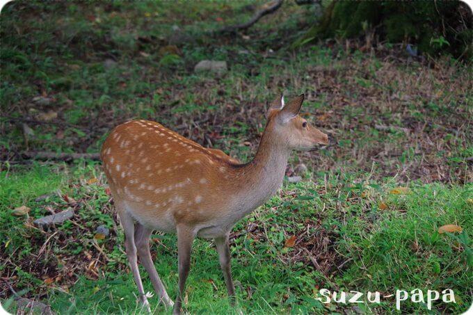 湯元キャンプ場 鹿